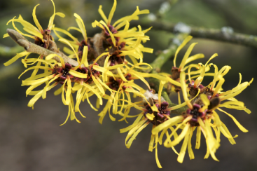 witch-hazel4